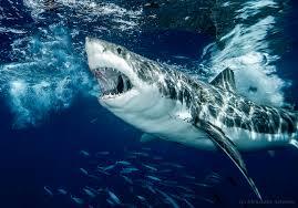 kelb il-baħar - white shark