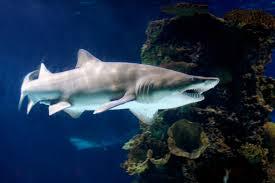 tawru - sand shark