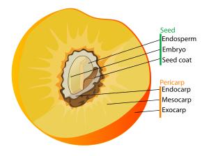 endokarpu